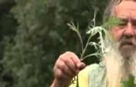 Beifuss – Kräuter und Pflanzenkunde