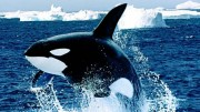 Die Orcas der Antarktis – Doku