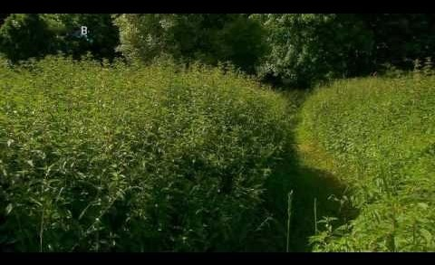 Geheimnisvolle Pflanzen – Die Brennnessel
