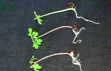 Moringa oleifera Keimlinge und Sprossen