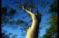 Moringa Oleifera Tree